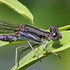 News: Variable Dancer, <em>Argia fumipennis</em>, in Gila Co., AZ: new early flying date for the state.