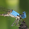 News: Blue-fronted Dancer, <em>Argia apicalis</em>, in Safford, Graham Co.
