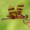 News: Halloween Pennant, <em>Celithemis eponina</em>, at Roper Lake State Park, Graham, AZ: fifth state record and new early flying date for AZ