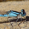 News: Arroyo Bluet, <em>Enallagma praevarum</em>, in Maricopa Co.: new late flying date for Arizona.