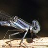 News: Kiowa Dancer, <em>Argia immunda</em>, at Wild Horse Pass, Maricopa Co.