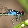 News: Painted Damsel, <em>Hesperagrion heterodoxum</em>, in Maricopa Co., AZ: new late flying date for the state.
