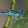 News: Blue Dasher (same as above), Male, Rio Salado Habitat Restoration Area, Phoenix, Maricopa, AZ, 8 March 2014