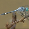 News: Spot-tailed Dasher, <em>Micrathyria aequalis</em>, at Quitobaquito Pond, Pima Co.: new early flying date for the state