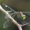 News: New Arizona species: Three-striped Dasher, <em>Micrathyria didyma</em>.