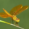 News: Mexican Amberwing, <em>Perithemis intensa</em>, in Maricopa Co., AZ: new early flying date for the state