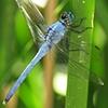 News: Eastern Pondhawk, <em>Erythemis simplicollis</em>, in Safford, Graham Co.