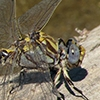 News: Gray Sanddragon, <em>Progomphus borealis</em>, in Maricopa Co., AZ: new early flying date for the state