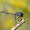 News: Black Setwing, <em>Dythemis nigrescens</em>, in Maricopa Co.: New late flying date for the state