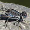 News: Kiowa Dancer, <em>Argia immunda</em>, at Tres Rios Wetlands, Maricopa Co., AZ.