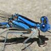News: Tarascan Dancer, <em>Argia tarascana</em>, in Gila Co.: new late flying date for the SW United States