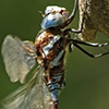 News: Arroyo Darner, <em>Rhionaeschna dugesi</em>, at Parker Schoolhouse stream, Santa Cruz: new late flying date for Arizona