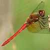 News: Cardinal Meadowhawk, <em>Sympetrum illotum</em>, in Pinal Co.: Northernmost state record to date.