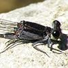 News: Tezpi Dancer, <em>Argia tezpi</em>, in Pinal Co.: New late flying date for species in Arizona