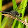 News: Black Meadowhawk, <em>Sympetrum danae</em>, in Coconino Co.: new county record