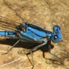 News: Cerulean Dancer, <em>Argia anceps</em>, at Scotia Canyon, Cochise, AZ: 5th Arizona (and USA) record.