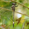 News: Pale-faced Clubskimmer, <em>Brechmorhoga mendax</em>, in Maricopa Co.: New late flying date for Arizona