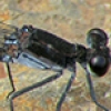 News: Tezpi Dancer, <em>Argia tezpi</em> at Wild Horse Pass, Maricopa