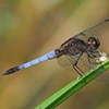News: Plateau Dragonlet, <em>Erythrodiplax basifusca</em>, in Apache Co., AZ: First county record
