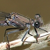 News: Tonto Dancer, <em>Argia tonto</em>, at Seven Springs, Maricopa