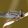 News: Neotropical Bluet, <em>Enallagma novaehispaniae</em>, in Pinal Co.: 5th state record