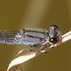 News: Unprecedented number of Neotropical Bluets, <em>Enallagma novaehispaniae</em>, in Arizona