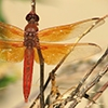 News: Flame Skimmer, <em>Libellula saturata</em>, in Pinal Co.: New late flying date for Arizona