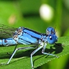 News: Aztec Dancer, <em>Argia nahuana</em>, in Pinal Co., Arizona: New early flying date for the state