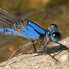 News: Harkness's Dancer, <em>Argia harknessi</em>, at Salt River Recreation Area: Second Maricopa Co. and northernmost record to date