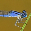 News: Claw-tipped Bluet, <em>Enallagma semicirculare</em>, in Pinal Co.: Northernmost state record and new late flying date for Arizona