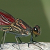 News: American Rubyspot, <em>Hetaerina americana</em>, in Pinal Co., Arizona: New early flying date for the state