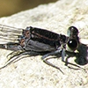 News: First record of Tezpi Dancer, <em>Argia tezpi</em>, at the Salt River Recreation Area, Maricopa Co.
