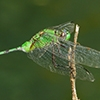 News: Great Pondhawk, <em>Erythemis vesiculosa</em>, at Wickenburg Secret Ponds, Maricopa