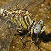 News: White-belted Ringtail, <em>Erpetogomphus compositus</em>, in Maricopa Co.: New early flying date for species in Arizona