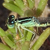 : Mexican Forktail