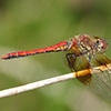 : Band-winged Meadowhawk
