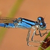 : Northern Bluet
