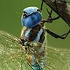 : Blue-eyed Darner