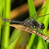 : Black Meadowhawk