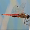 : Antillean Saddlebags